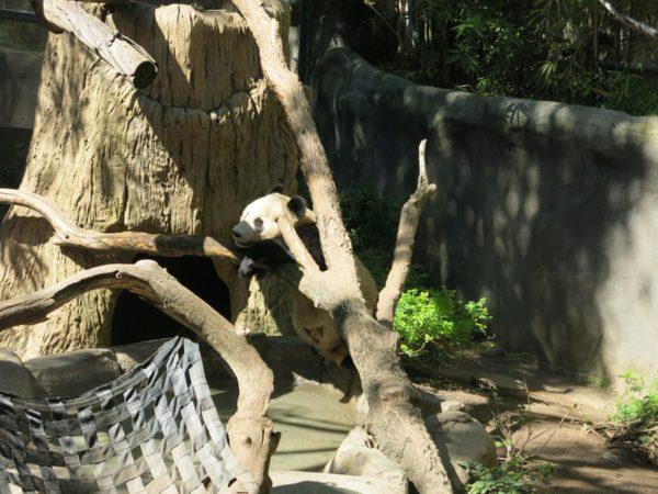 やっとパンダ