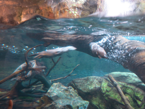 Keep going and you will see under water of river otter tank.