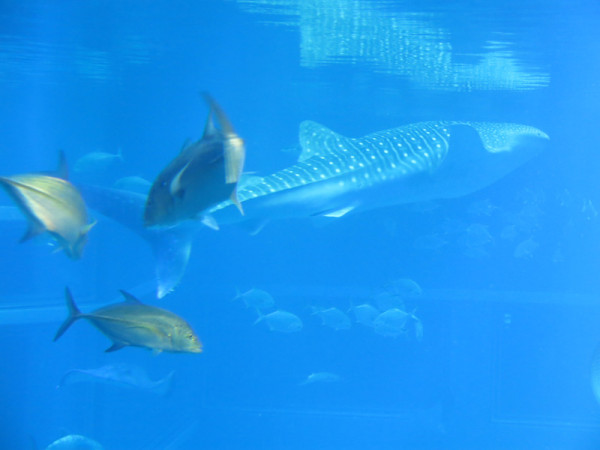 And the biggest tank, Whale Shark tank