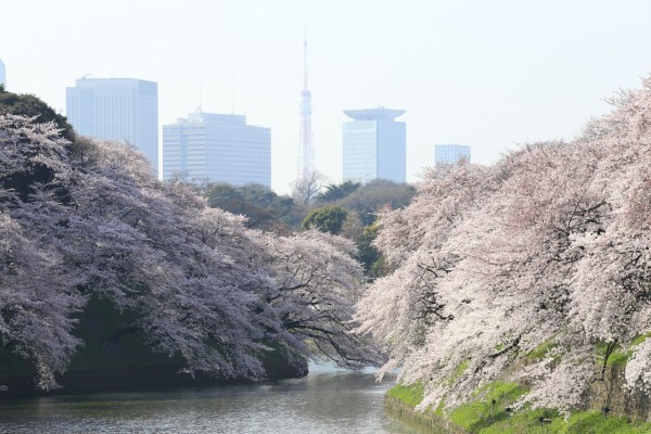 Chidorigafuchi near Imperial Palace in Tokyo is one of the best spots to see cherry blossom. (C) Yasufumi Nishi / JNTO