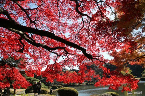 Fall foliage at Shinjuku Gyoen