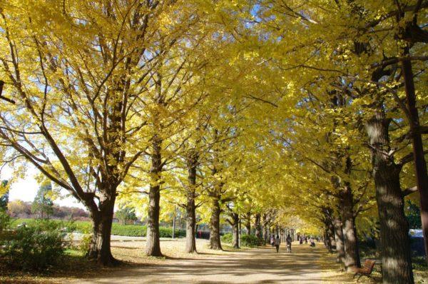 Golden leaves at Showa Kinen Park (C) Yasufumi Nishi / JNTO