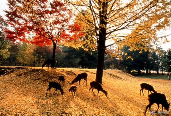 Lots of deer in Nara Park